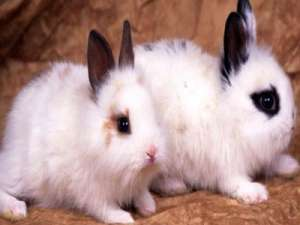 五种不适合养的畸形宠物兔