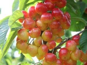 初夏吃樱桃最能防治贫血
