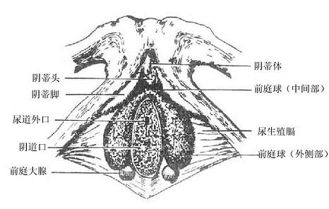 阴蒂、前庭球及前庭大腺