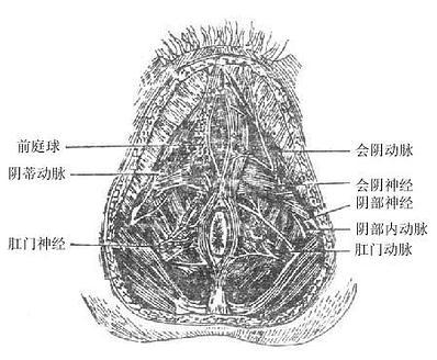 女性肛门三角及尿生殖三角内的动脉和神经