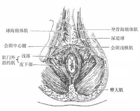 肛门三角及尿生殖三角浅层肌