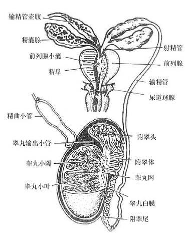 睾丸的结构和排精途径