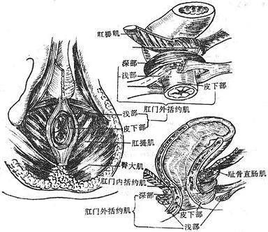 肛门内、外活约肌及肛直肠环