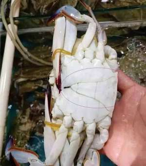 梭子蟹应该怎么挑选