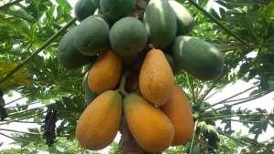 木瓜丰胸的最佳做法