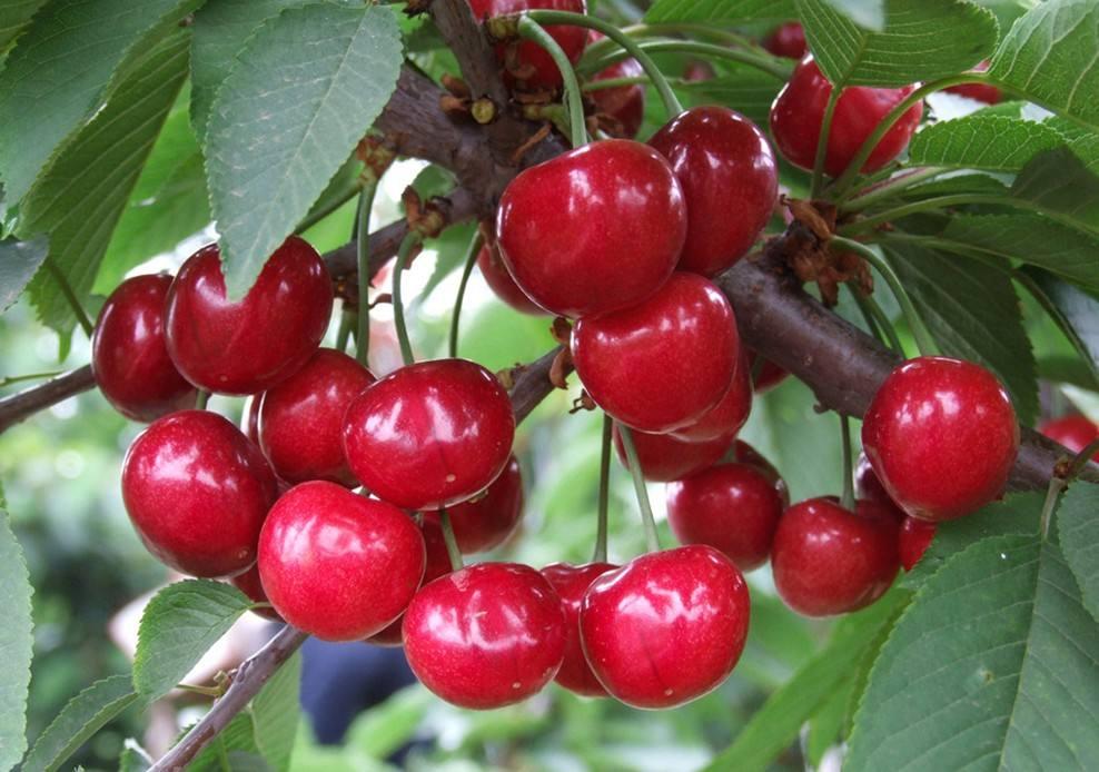 樱桃的养生的功效是什么?